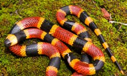 Serpiente de Coral