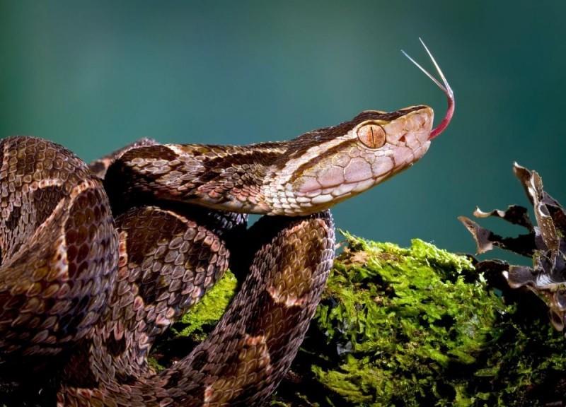 Serpientes terciopelo