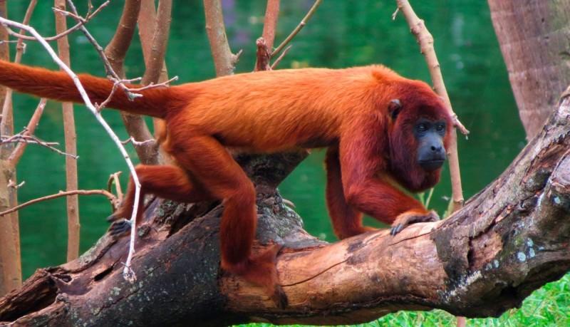Tamaño de los monos aulladores rojos