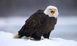 Taxonomía de las águilas