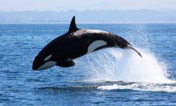 Taxonomía de las ballenas