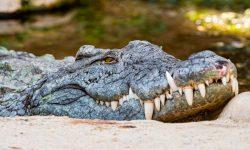 Taxonomía de los cocodrilos