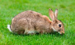 Taxonomía de los conejos