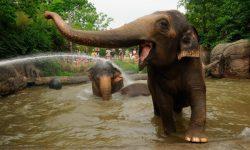 Taxonomía de los elefantes