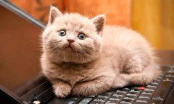 Taxonomía de los gatos