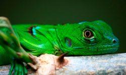 Taxonomía de las iguanas