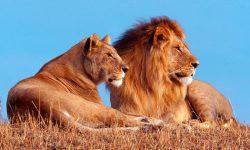 Taxonomía de los leones