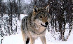 Taxonomía de los lobos
