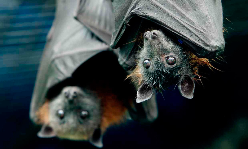 Taxonomía de los murciélagos