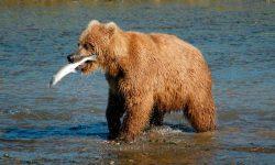 Taxonomía de los osos