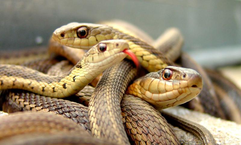 Taxonomía de las serpientes