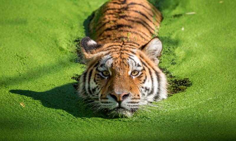 Taxonomía de los tigres