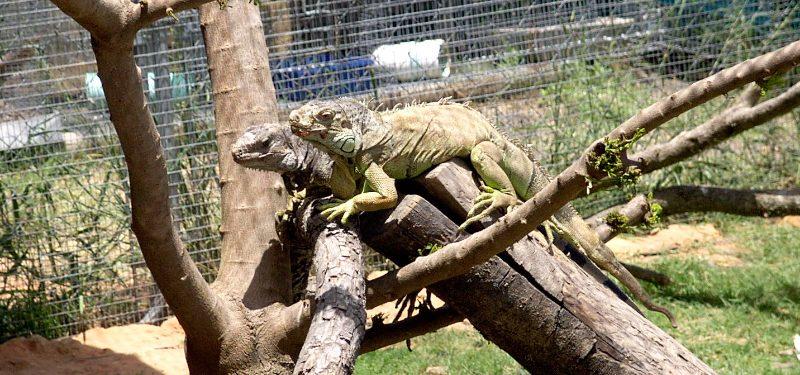 Terrario de iguanas