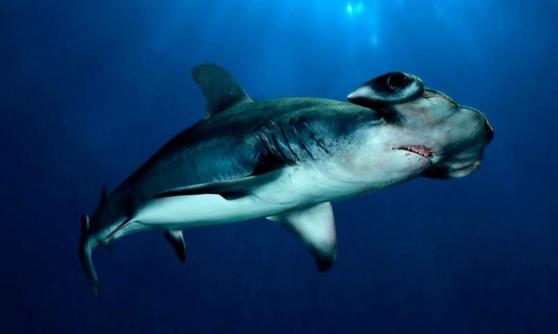 Tiburón Martillo Características Qué Come Dónde Vive