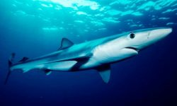Tiburón tintorera