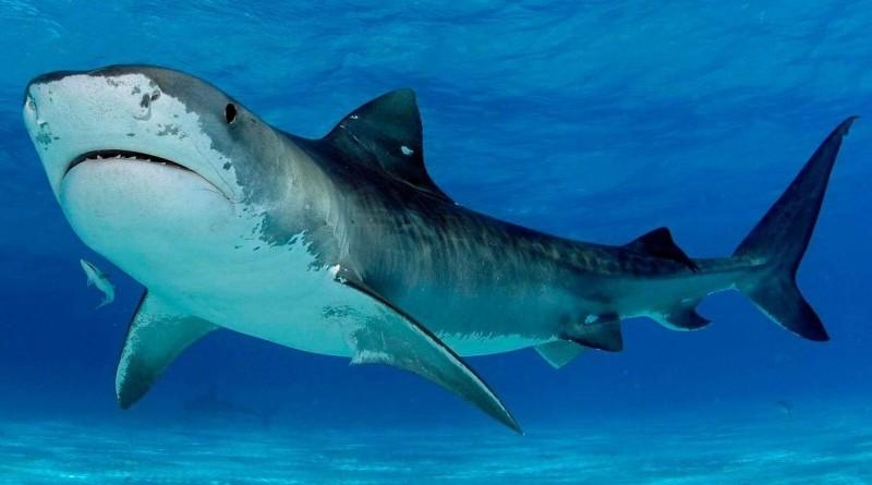Tiburones tigre