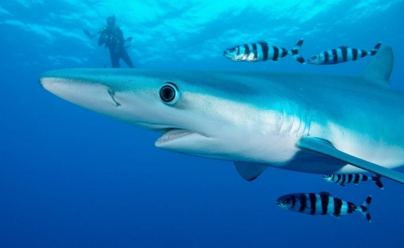 Tiburones tintorera
