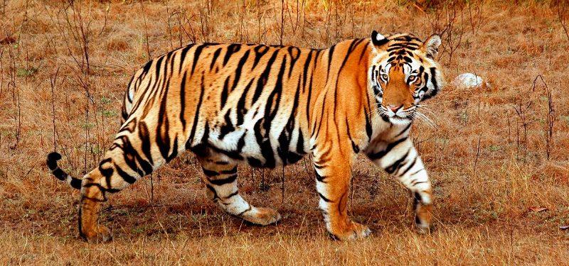 Tigres especies de tigres de bengala siberiano for Bengala asia