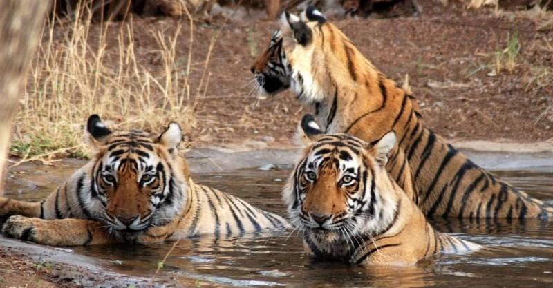 Tigres siberianos