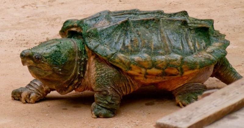 Tortugas caimán