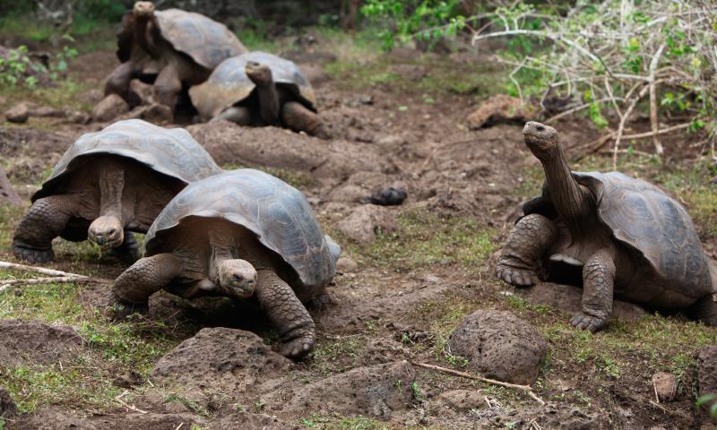 Tortugas Galápagos