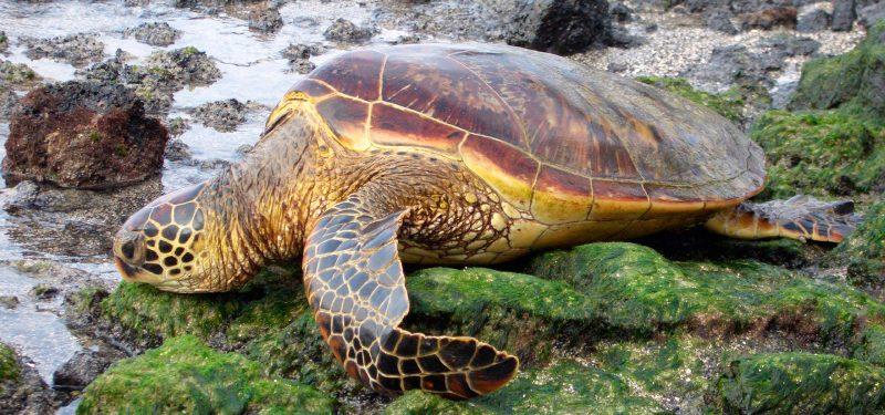 Resultado de imagen para Tortuga Boba » en peligro de extinción, hábitat, características y alimentación