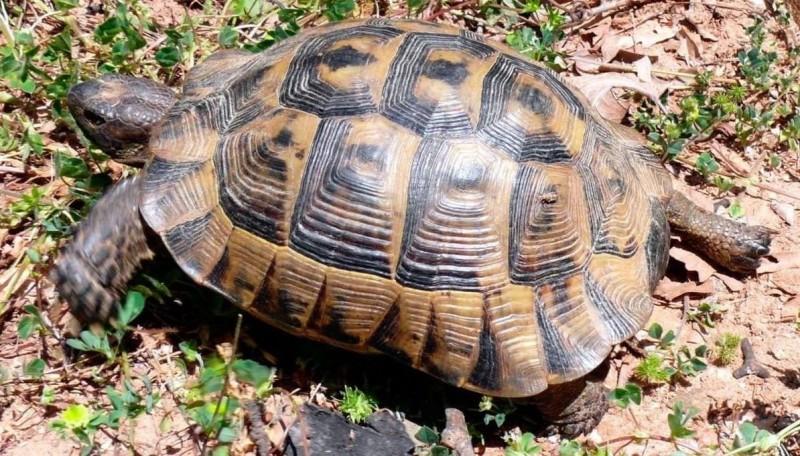 Tortugas mediterráneas
