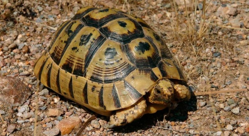 Tortugas moras