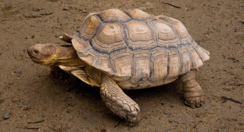 Tortugas sulcata