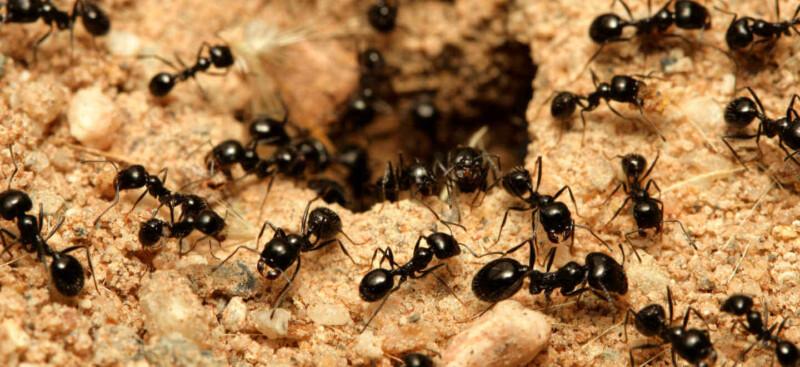 Trucos caseros para ahuyentar a las hormigas de forma natural