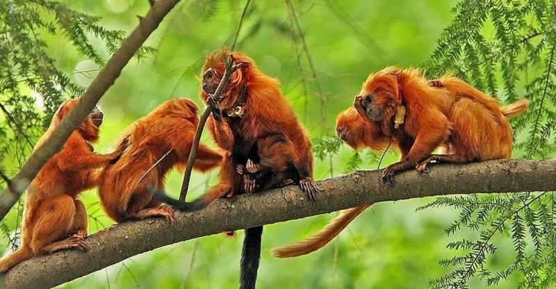 Grupo de Monos tamarino león dorado