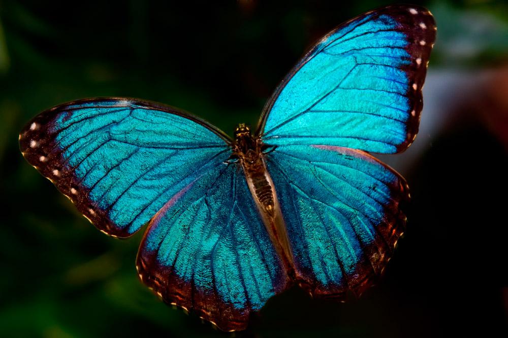 Mariposa Morpho Características Qué Come Dónde Vive