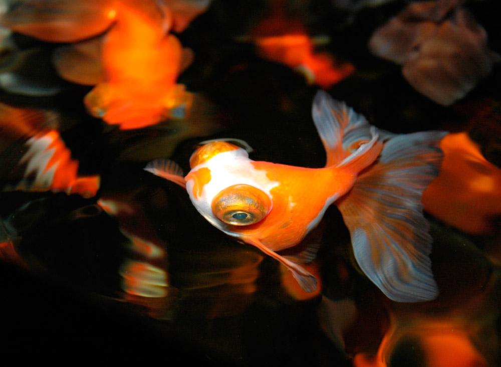 Peces de agua fr a caracter sticas qu come d nde vive for Los mejores peces de agua fria