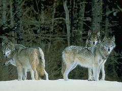 Cómo Se Organizan Los Lobos Comportamiento De Las Manadas