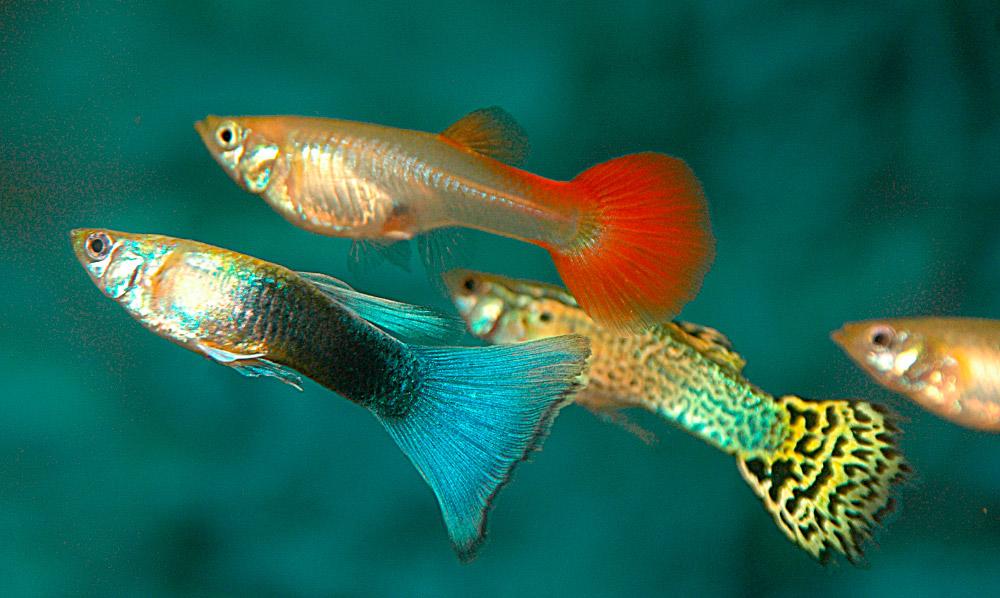Resultado de imagen de pez guppy