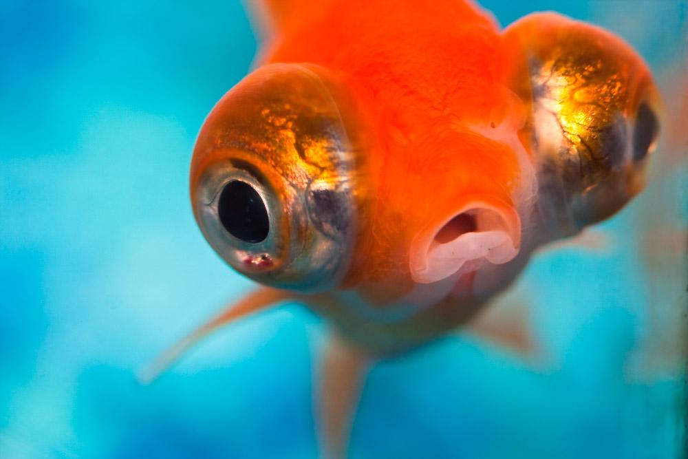 Peces de agua fr a caracter sticas qu come d nde vive for Cuidados acuario agua fria